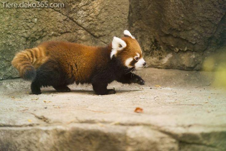 Gimmick Die Sie Ubrig Rote Pandas Nicht Wussten Roter Panda Pandas Kleiner Panda