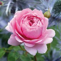 Роза Принцесса Александра Кент (Princess Alexandra Of Kent)