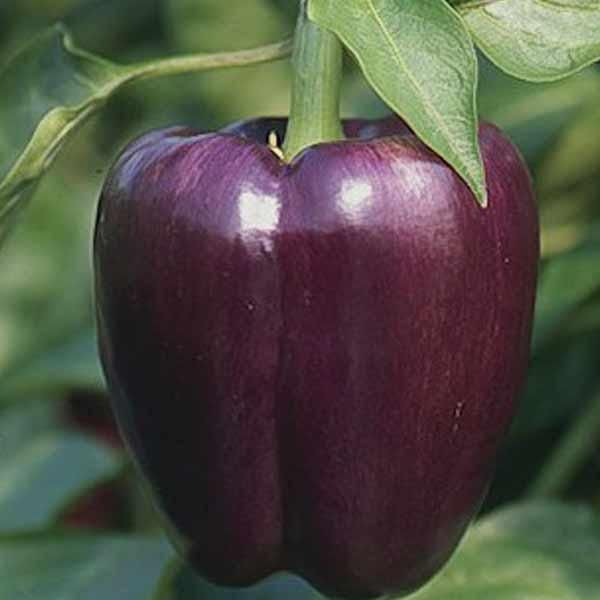 Peber 'Purple Beauty'Capsicum annuum