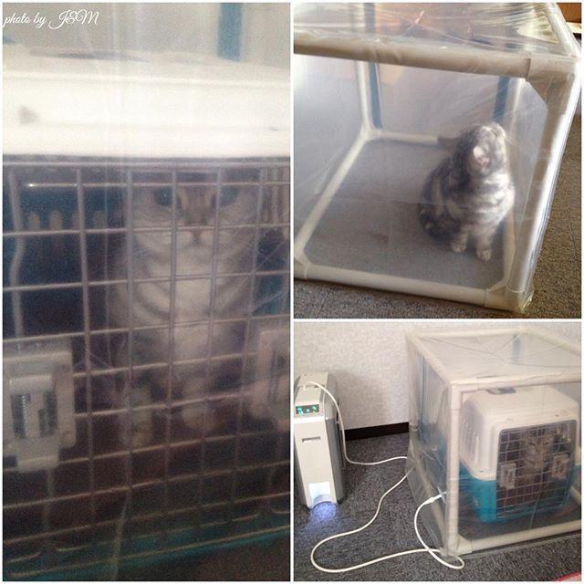 猫ちゃんの心筋症で病院で酸素室に入る事がありますが、うちは症状がひどい時は自宅でも酸素テントをレンタルしていました。(レンタルでも少々値段は高いです)  安定してうとうと寝てくれます。 リラックスしている感じです。  最初は慣れるまでキャリーに入れて、次にテントに出してお気に入りの毛布やクッションを入れておくとまん丸になって寝てたりします。 ●心筋症の症状は様々なので必ずかかりつけ医に確認して下さいね。酸素濃度の確認も必ず必要です。 #スコのお手手を守って #命#ミー#猫#ねこ#ぬこ#猫部#ねこ部#cat#best#bestcat#ねこら部#キャット#ミー#pet#動物#アメリカンショートヘアー#アメショー#シルバータビー#愛猫#愛猫同好会#アメリカンショートヘア#love#にゃんすたぐらむ#心筋症#不整脈#心臓病#心筋症と闘うニャンコ#心筋症と闘うにゃんこ#酸素#酸素テント