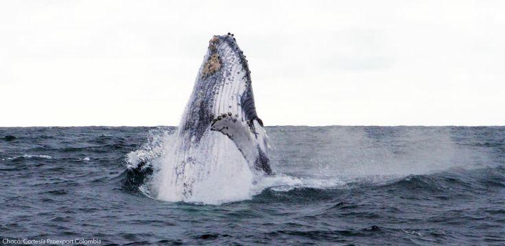 Avistamiento de Ballenas en el Pacífico Colombiano. Visitando el Chocó, caminando entre el Golfo de Tribugá y encontrándonos con estos gigantes del agua. http://www.awakeadventures.com/expedicion/choc%C3%B3-termales-nuqu%C3%AD