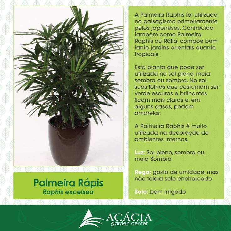 Palmeira Rápis – Planta para sol, sombra ou meia sombra | Blog Jardinices