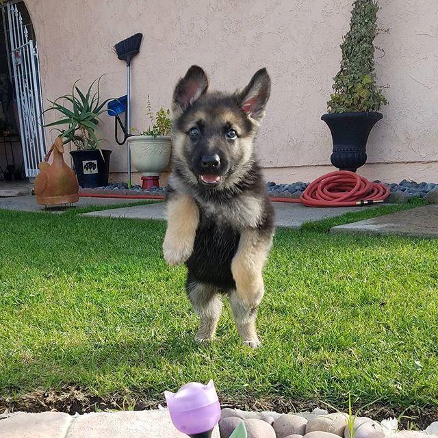 I Believe I Can Fly Doggomeat Germanshepherds