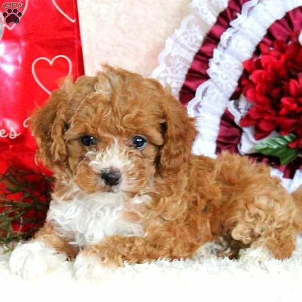 Rosanne, Havapoo Puppy