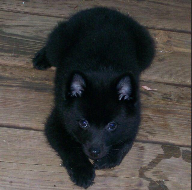 Kai Ken dog, it looks like a little bear!!
