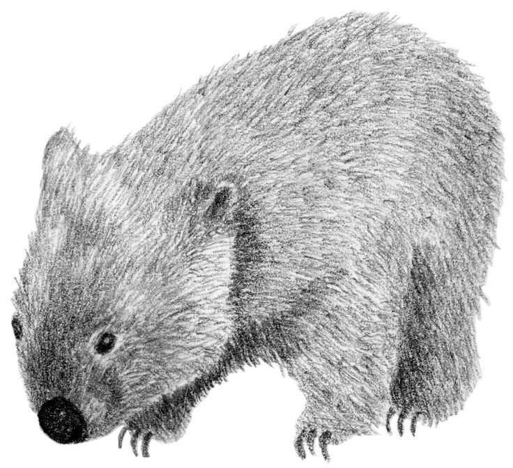 how to draw a cute wombat