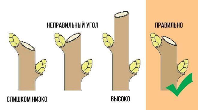 Схема, как правильно обрезать ветку на почку