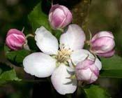 Beskæring af æbletræer