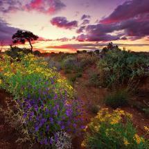 Broken Hill wildflowers