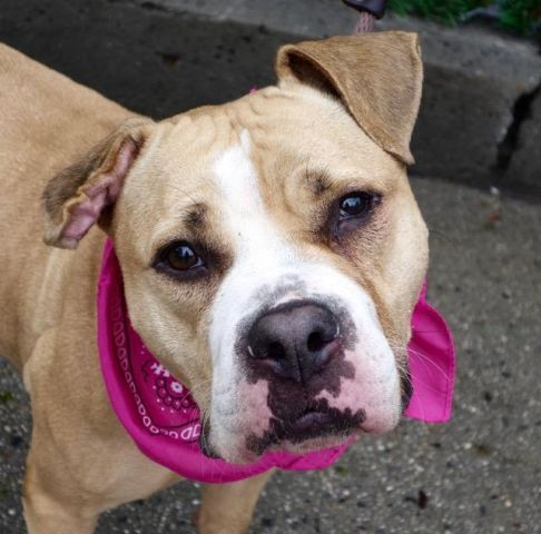 SWEET POTATO -  A1109973 - - Manhattan  TO BE DESTROYED 05/04/17 **ON PUBLIC LIST** A volunteer writes: Sweet potatoes are so delicious what ever way you cook them. Our very own Sweet Potato is one tasty treat anyone would love to spend time with. She is a cute little gal all happy to be in company. When I came to her door, she dropped the giant bone she was chewing on and came forward to be leashed. Her tail was wagging, her head was tilted and she made very sweet eyes at
