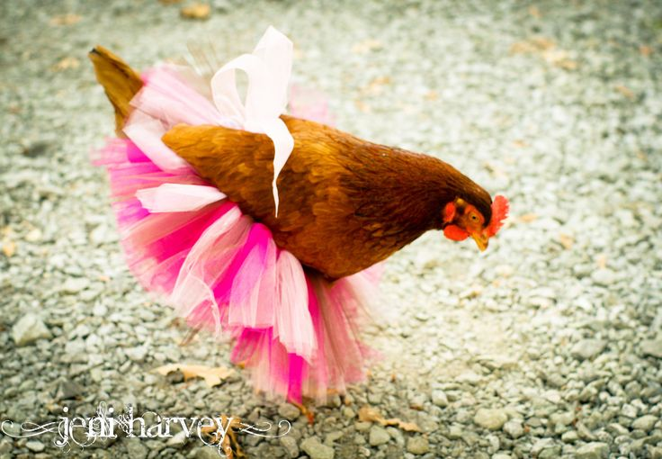 Quotes About Raising Chickens: 17 Best Ideas About Chicken Humor On Pinterest