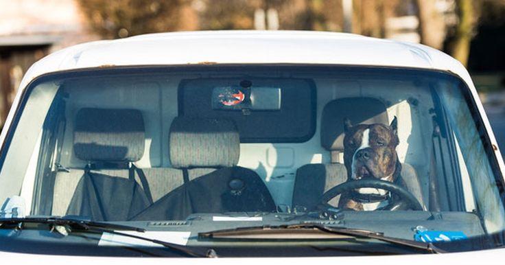 Cão parece dirigir carro ao ser flagrado no banco do motorista