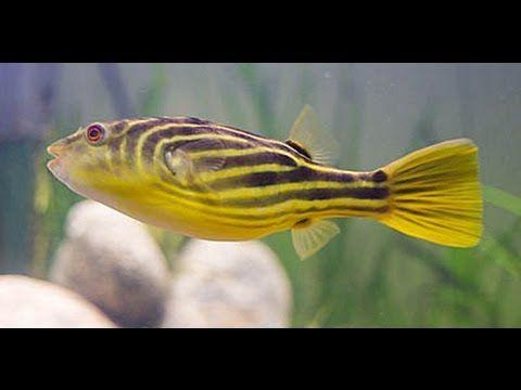 Аквариумная рыбка, Нильский тетрадон, Tetraodon lineatus