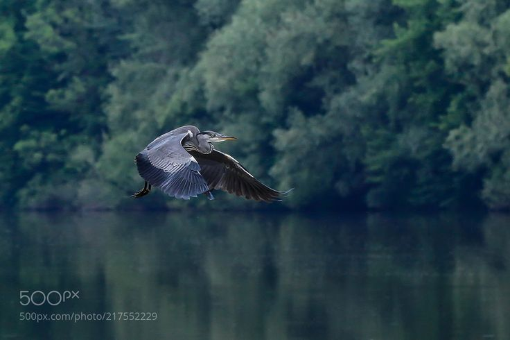 Graureiher (Paul Schmuck / Graz / Austria) #Canon EOS 70D #animals #photo #nature