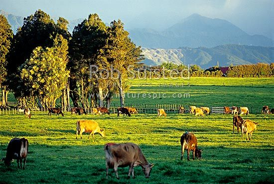 Dairy farming - Horowhenua, Levin, Horowhenua District, Manawatu-Wanganui Region, New Zealand (NZ).