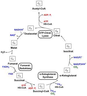 Ciclo de Krebs inverso - Wikipedia, la enciclopedia libre