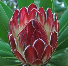 Protea obtusifolia flower head
