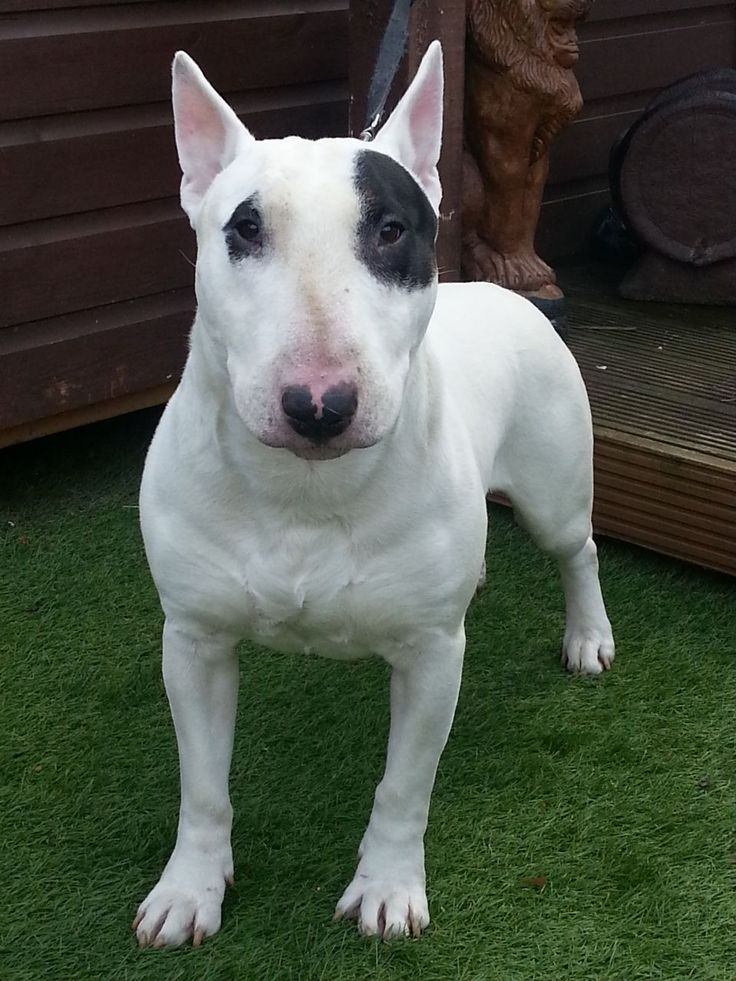 A Bull Terrier - isn't this the 'Target' dog?