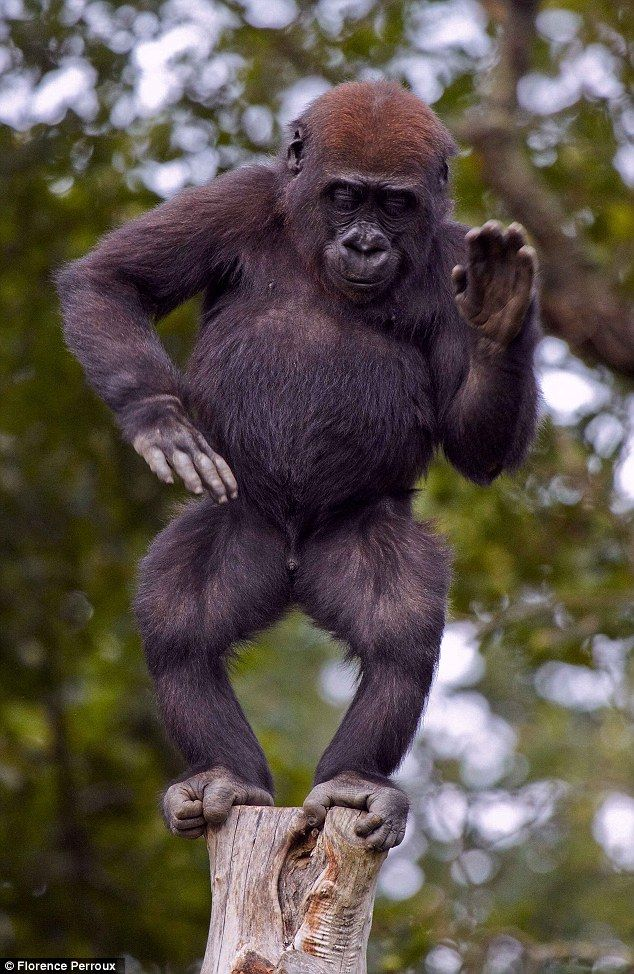 A young gorilla called Bangui gets into the groove on top of a pole in front of his appreciative audience