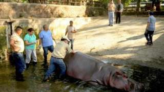 El Salvador hippo Gustavito 'was not killed from knife attack'