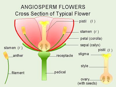 Ovary Flower Cross Section Flower Cross Section |...