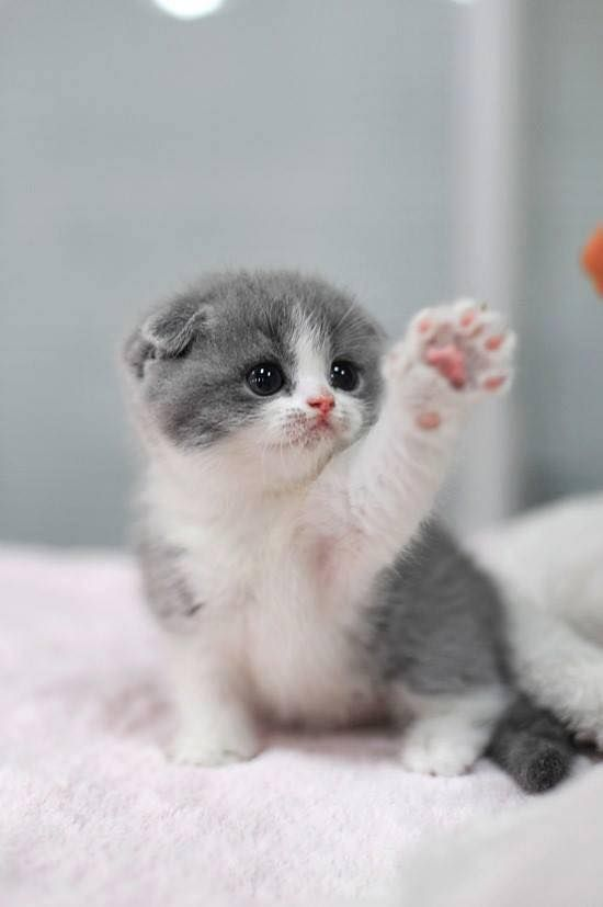 Super cute white and grey kitten (hva)