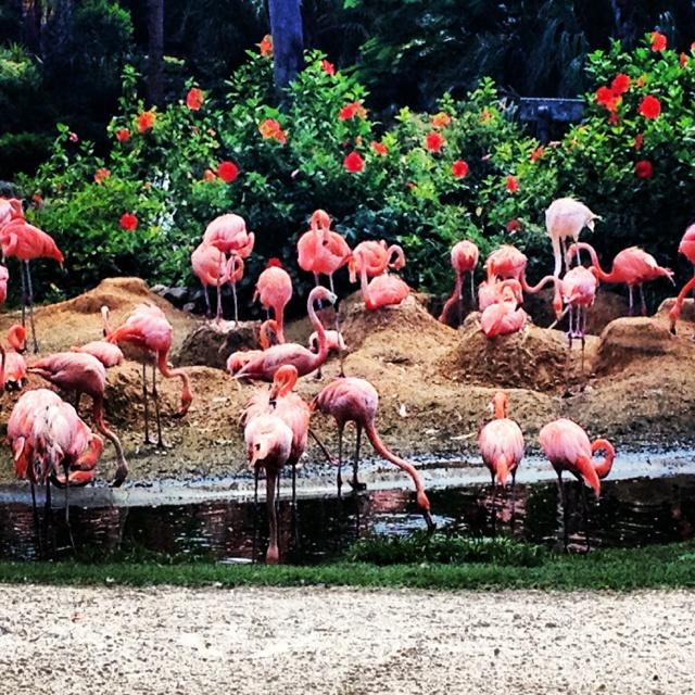 Flamingos at Busch Gardens Tampa, FL