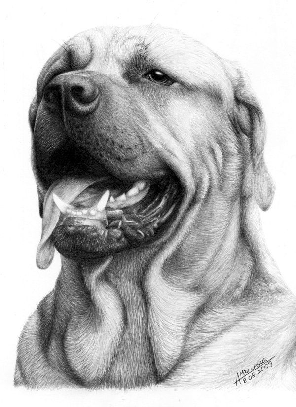 Bull Dog - 10 Lovely Dog Drawings for Inspiration, http://hative.com/dog-drawings/,
