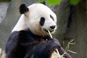 Edinburgh Zoo Live Panda cam | Edinburgh Zoo