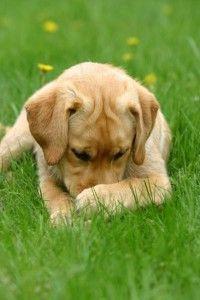 Cute labrador!