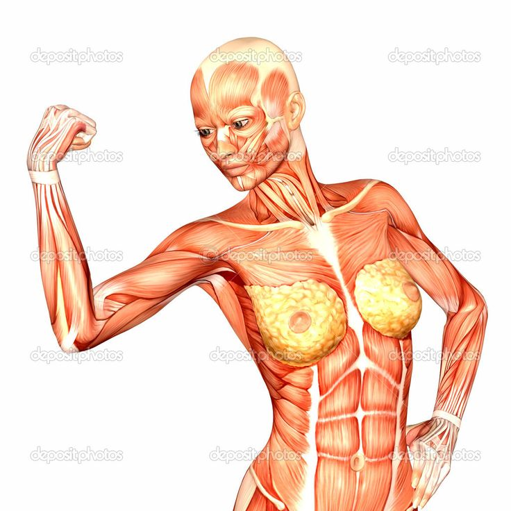 18 best anatomy images on pinterest | body anatomy, upper body and, Muscles