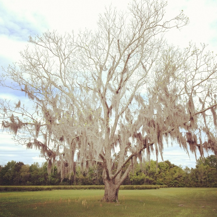 """My husband and I visited The Charleston Tea Plantation and I was mesmerized by this old tree on their grounds. It was as if the moss had been placed there by hand, it looked so perfect."" Submitted by Shannon R. So Southern!"