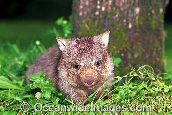 Baby Common Wombat (Vombatus ursinus). Mole Creek, Tasmania, Australia Photo Copyright: © OceanwideImages.com