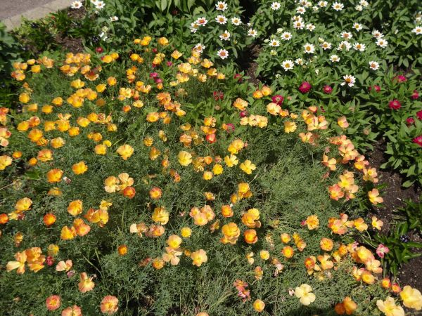 Eschscholzia californica apricot chiffon drought for Low maintenance perennials