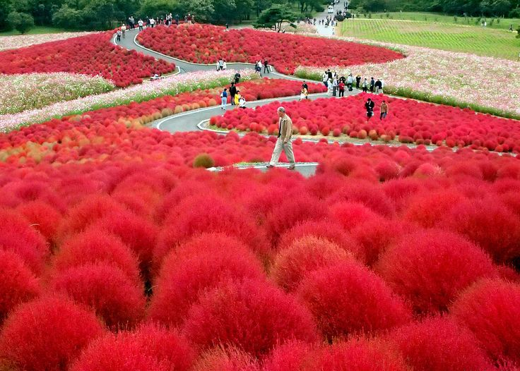 Like something out of a Dr. Seuss book! A field of kochia plants paint the landscape fiery red. At the Hitachi Seaside Park in Japan.