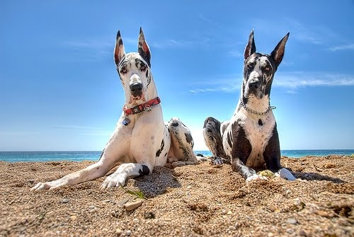 danes: At The Beaches, Twin, Dogs, Harlequin Great Danes, Ears, Puppies Love, Life Is Good, Animal, Sweet Life
