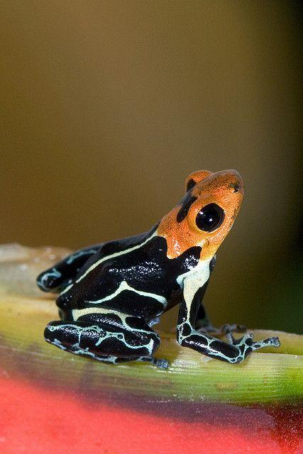 (Ranitomeya fantastica). Dendrobate â tête rouge. Se rencontre dans les forêts trpicales  remplies de broméliacées oû elle élêve ses tétards.Les dessins sur son corps sont semblables â ceux du dendrobate imitateur et les deux espêces se cotoient . L'une des espêces les plus petite du genre , 2 cm. Ses pattes se terminent par des doigts aux ventouses triangulaires.