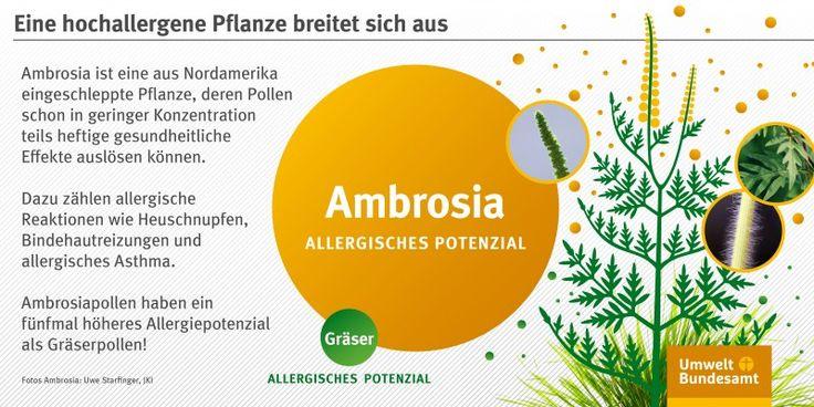 Infografik: Zeichnung einer Ambrosia-Pflanze mit gefiederten Blättern und…