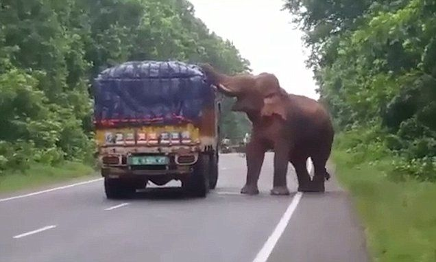 Hungry elephant halts truck and picks off potatoes to eat
