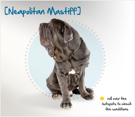 """Did you know the Neapolitan Mastiff is known as the """"extraordinary dog of the ordinary man?"""" This breed is unique in its massive size and fearless attitude – they generally weigh between 110 and 155 lbs!: Neapolitan Mastiff"""