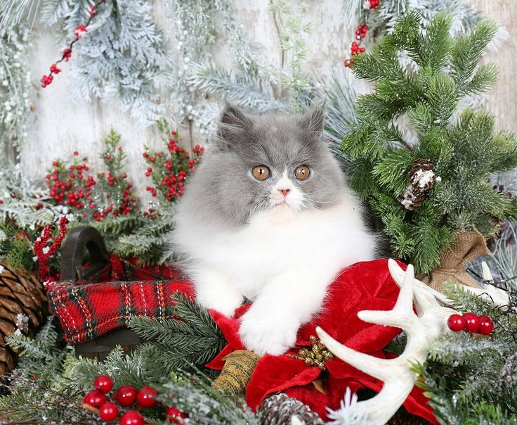 Persian kittens for sale in northern nj
