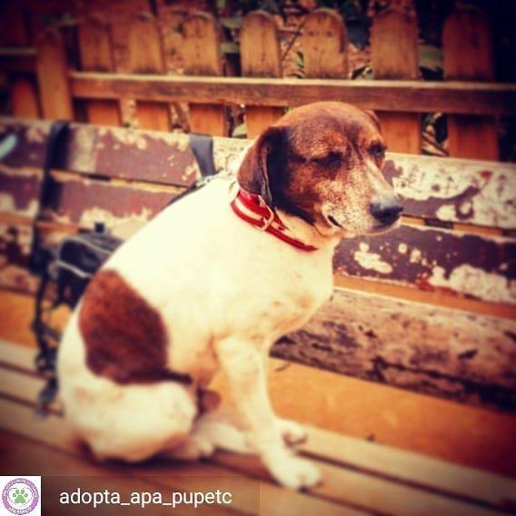 Reposted From Adopta Apa Pupetc Ben Es Un Maravilloso Perro De
