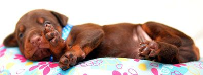 european red doberman puppy for sale in USA