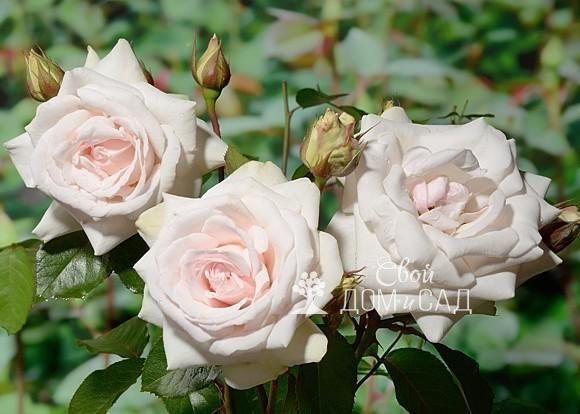 Розы садовые: размножение, уход за розами, обрезка, удобрение