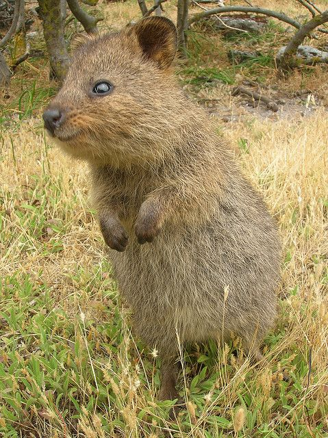 I could Pin pics of these little guys all day!!! <3 Quokkas!!