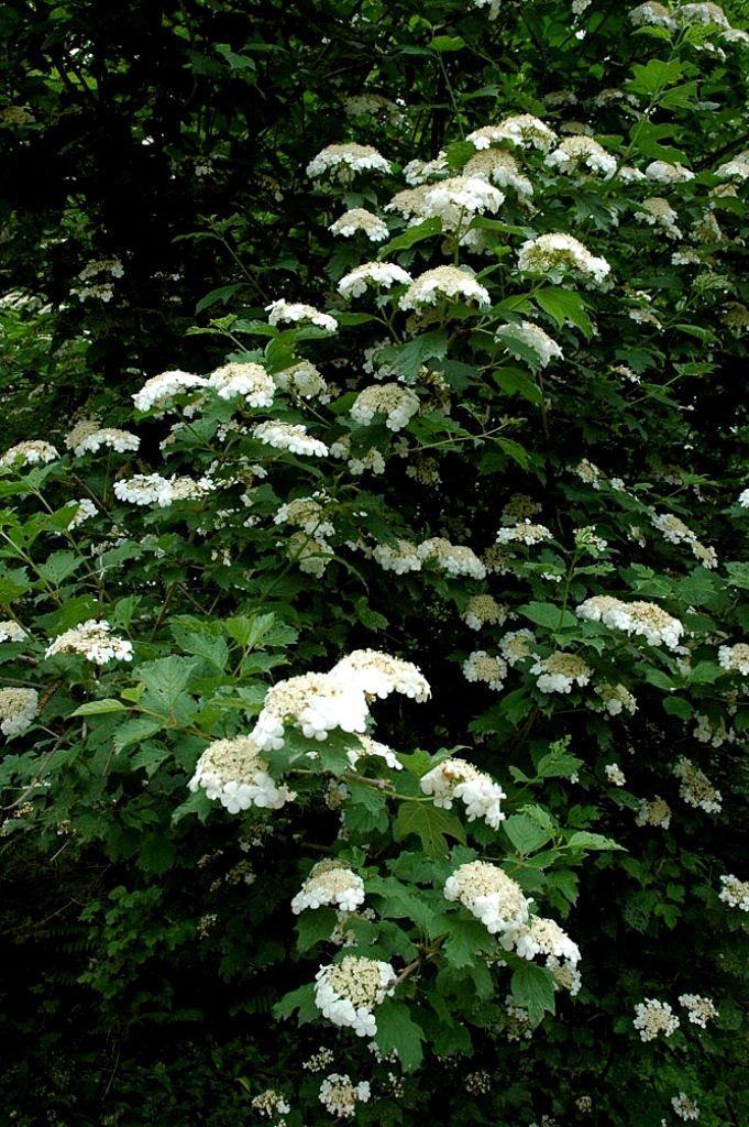 Ortensia rampicante pianta di origine giapponese