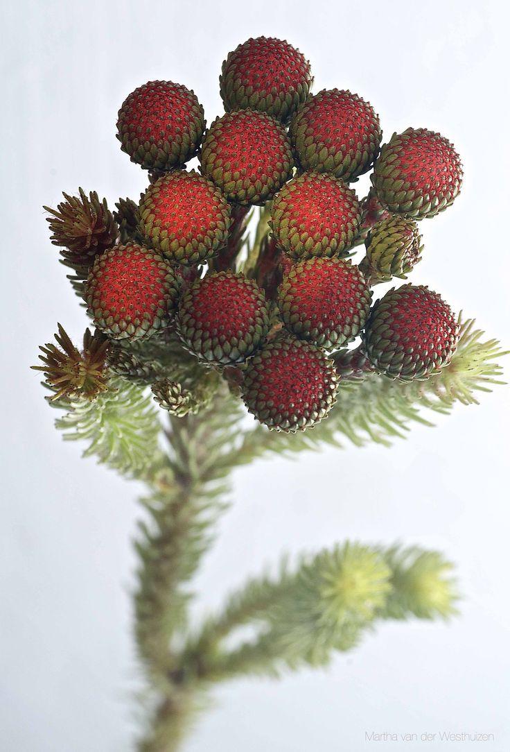 Kolkol branch, a fynbos filler for bouquets Photo by Martha van der Westhuizen