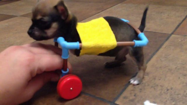 Vet clinic collecting donations for tiny disabled dog