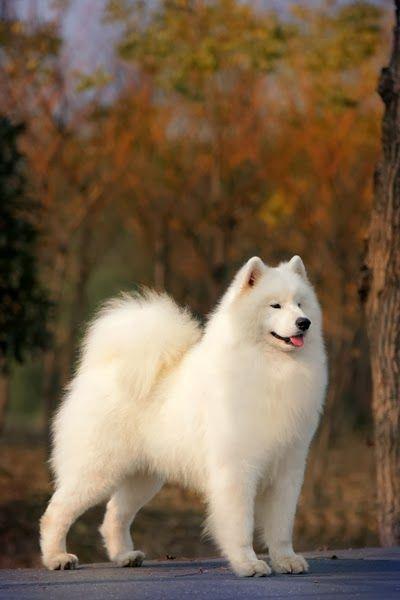 La raza canina Samoyedo ha tomado su nombre de los pueblos samoyedos del norte de Rusia. Estos pueblos nómadas de pastores de renos criaron esta raza para ayudar con el pastoreo y tirar de trineos, entre otros oficios.