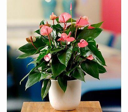 anthurie umtopfen amazing falsche hanfpflanze anthurium. Black Bedroom Furniture Sets. Home Design Ideas